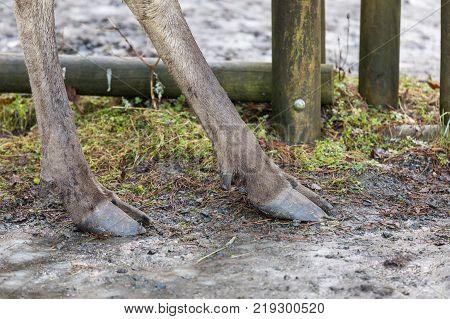 Moose or European elk Alces alces hindleg hooves of an adult male