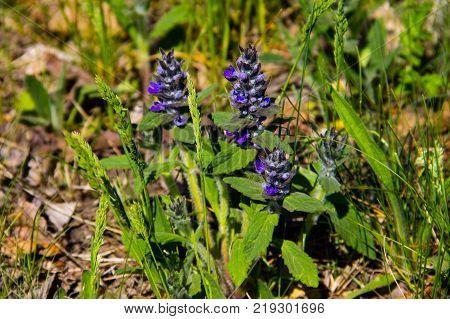 Blue Bugleweed Flowers (ajuga) On The Meadow