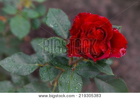 Beautiful red rose with drops of dew. Favorite flower. A very beautiful rose. Hybrid tea rose. Rose with buds. For any design. Postcard, illustration