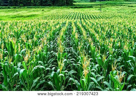 The corn field in Cao Bang province, Vietnam. poster