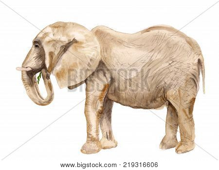 Watercolor Image Of African Elephant On White Bacground