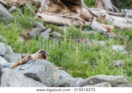 Marmot Rests on Boulders in alpine meadow in summer