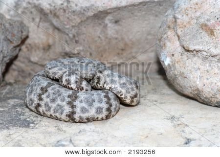 This mottled rock rattlesnake was photographed in the desert of west Texas. poster