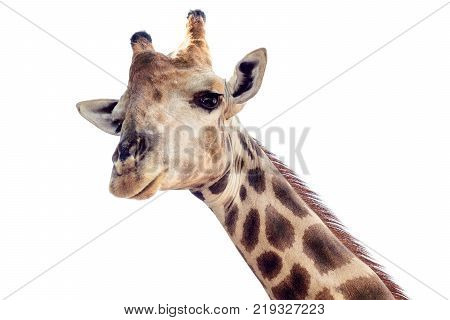 Close up shot of giraffe head isolate on white background