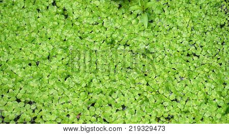 Green duckweed background on the water surface