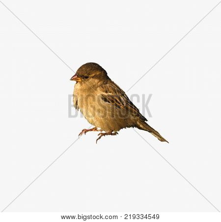 Italian Sparrow Passer italiae , isolated, with white background