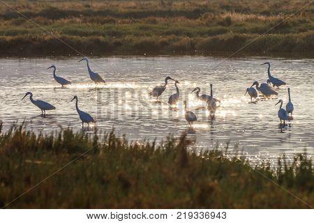 Little egrets (Egretta garzetta) standing on a lake. Lefkada Greece