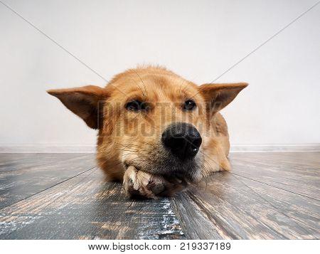 Big red dog calmly lying on the floor