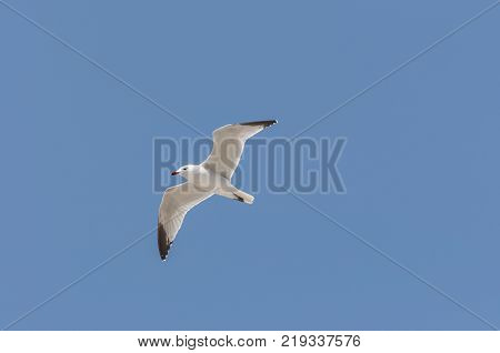 Audouin's Gull in flight. It is an endangered gull restricted to the Mediterranean and the western coast of Saharan Africa. Photo taken in Santa Pola Alicante Spain.