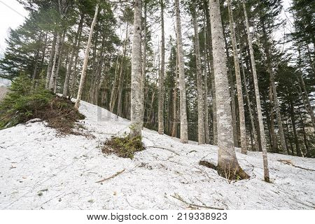 Piled up snow with mixed forest of conifers and hardwood trees in Katashina-mura, Gunma