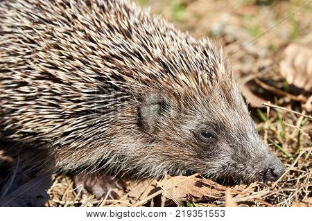 Hedgehog. A hedgehog is any of the spiny mammals of the subfamily Erinaceinae. Hedgehogs have a coat of stiff, sharp spines.