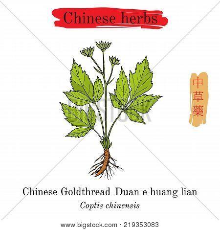 Medicinal herbs of China. Goldthread Coptis chinensis . Hieroglyph translation Chinese herbal medicine