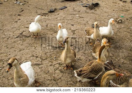 Flock of domestic geese on a farmyard