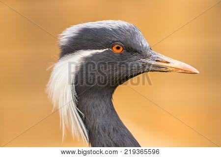 Portrait of demoiselle crane also known as Anthropoides virgo