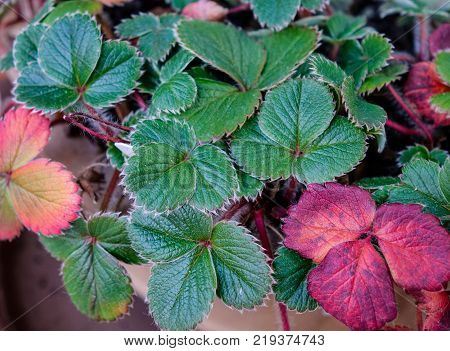 Strawberry plants at the garden in spring time.