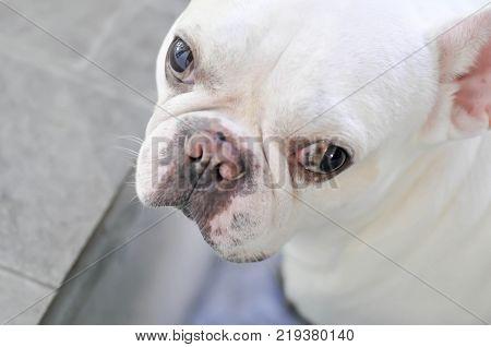 white French bulldog or staring dog , dog