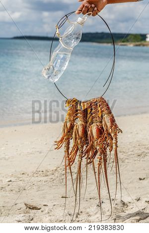Several freshly caught big caribbean langustas or spiny lobsters tied together to be cooked on Luna beach Cienfuegos Cuba