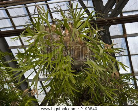 Giant Staghorn Fern