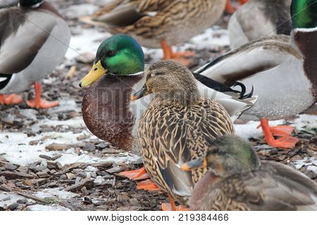 Drake and Hen Mallards  (Anas platyrhynchos) standing on dry land.