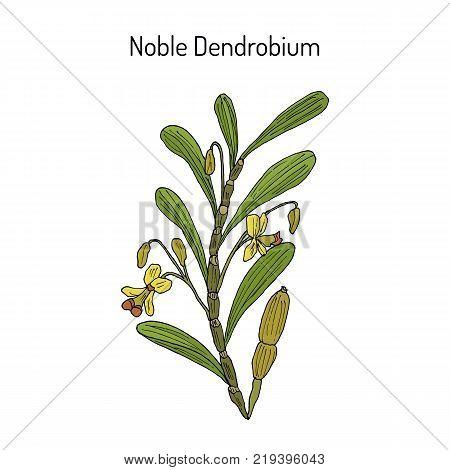 Noble Dendrobium, ornamental and medicinal plant. Hand drawn botanical vector illustration