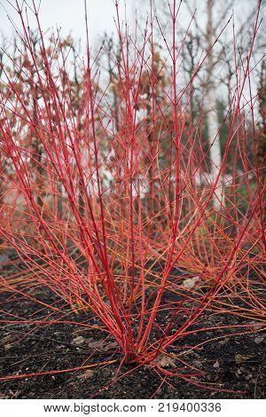 Red Dogwood, Cornus sanguinea 'Anny's Winter Orange'