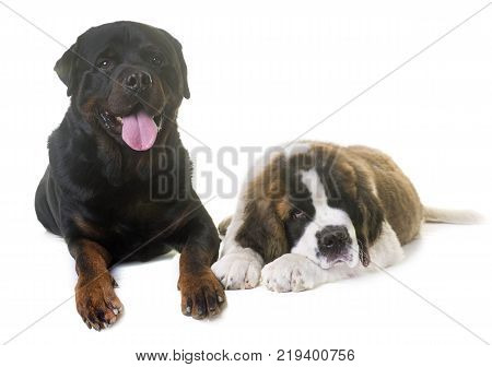 puppy saint bernard and rottweiler in front of white background