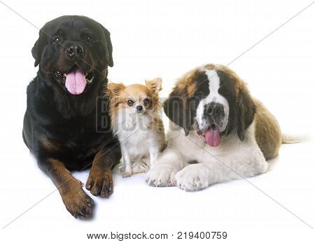 puppy saint bernard chihuahua and rottweiler in front of white background