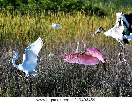 Three Birds in Flight Over the Everglades