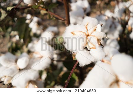 Close up view of an open boll of cotton just before harvest in West Texas