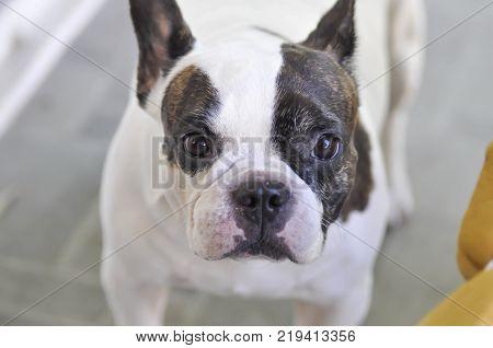 dog or French bulldog or staring dog