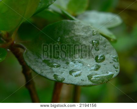 Water Drop On A Leaf