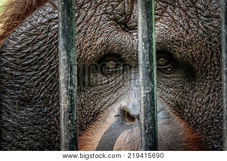 portrait of sad imprisoned orangutan behind metal bar
