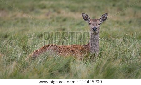 A close up of a young red deer doe fawn lying in the grass in a open field looking very watchful and alert staring directly forward at the camera