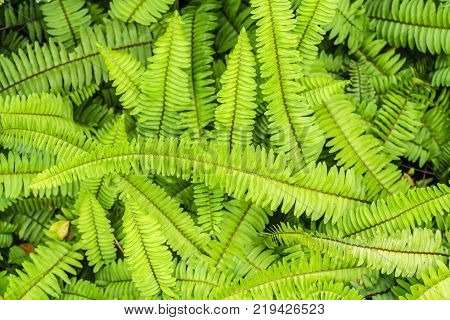 Green native fern or Nephrolepis cordifolia in the garden Thailand