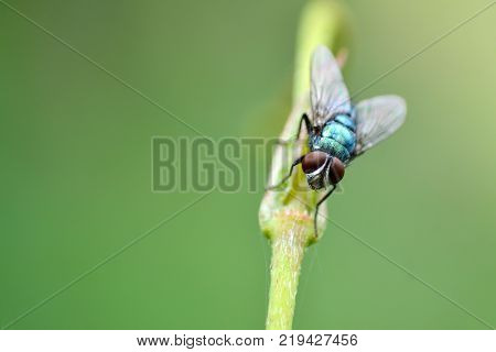 Macro of a House Fly sitting on Flower bud