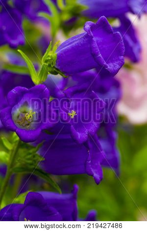 outdoor closeup blooming decoration natural green floral spring petal flower field botanical lilac bluebell grass summer blossom bell bloom violet macro season purple garden bouquet blue colorful plant medium beauty leaved campanile country style backgrou