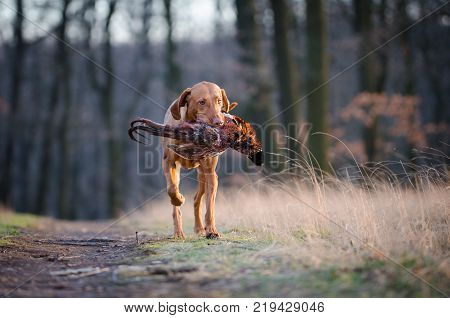 Hungarian hound pinter dog in the spring forrest