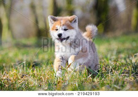 Puppy of Akita inu japan dog in spring time