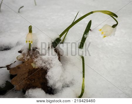 Just Appeared White Spring Flower Lavishly Covered With Fluffy Snow After Weather Phenomena - Snowfa