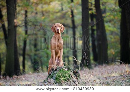 Hungarian hound pointer dog in outdoor forrest in autumn time