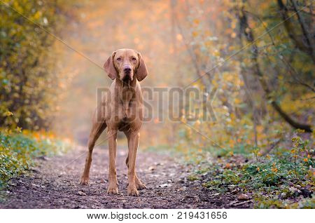 Hungarian hound pointer vizsla dog in autumn time in the forrest