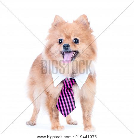 Dog office worker isolated. A dog in a tie and a white collar in the office. Pomeranian Spitz Director Manager Worker fun