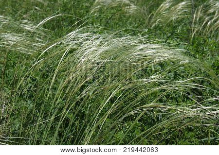 Blooming young feather grass. A feather-grass on a background of green grass. Spring, juicy greens.
