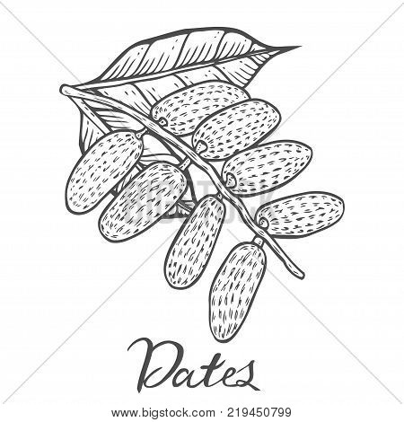 Hand drawn Dates. Vector illustration of dried dates organic food date palm on white background.