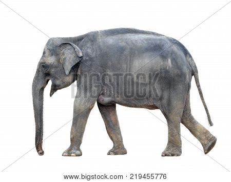 Big grey walking elephant isolated on white background. Standing elephant full length close up. Female Asian elephant.