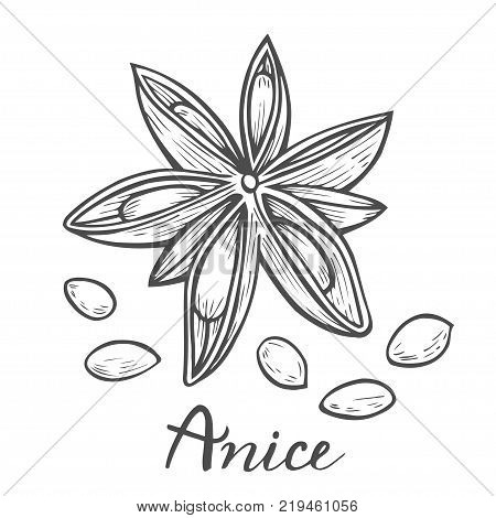 Hand drawn Anise star flower seed plant . Sketch illustration. Spicy herbs. Star anise Doodle design cooking ingredient for food, dessert. Seasoning spice herb. isolated on white.