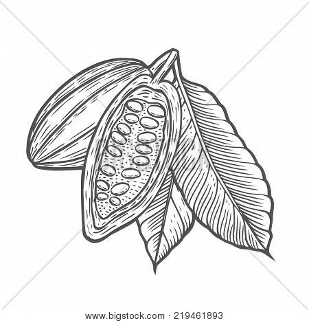 Cocoa beans illustration plant. Hand drawn vector sketch engraved illustration isolated on white. Treatment, care, food ingredient
