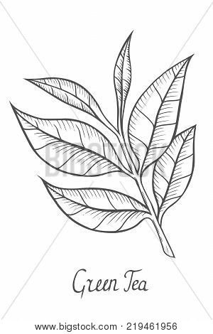 Green tea plant, leaf. Hand drawn sketch vector illustration isolated on white.