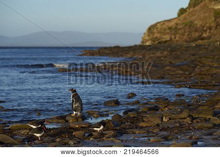 Gentoo Penguin (pygoscelis Papua) Heading To Sea Early In The Morning From A Rocky Beach On Saunders