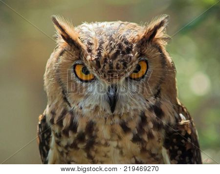 aggressive owl looking very aggressive and beautiful